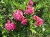 Rostblättrige Alpenrose; Rhododendrum ferrugineum; Ericaceae