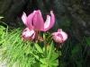 Türkenbund, Lilium martagon, Liliaceae
