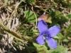 Gefranster Enzian, Gentianella ciliata