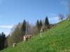 Kühe weiden am steilen Hang
