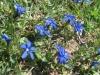 Frühlingsenzianen,  Gentiana verna