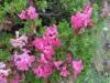 Bewimperte Alpenrose, Rhododenrum  hirsutum, Ericaceae