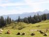 bei der Rubihütte; die Kühe sind überalld