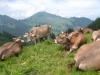 Kühe mit Bouchserhorn
