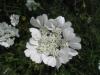 Strahlen Breitsame (Orlaya grandiflora)