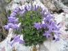 Glockenblume (Campanula spec.)