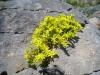 Scharfer Mauerpfeffer (Sedum acre); Crassulaceae