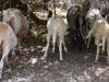 auch dsie Schafe drängen in den Schatten