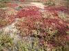 Kristall- Mittagsblume, Mesembryanthemum crystallinum; Aizoaceae