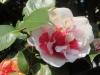 Kamelien;  Frühlingsboten