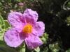 Weissliche Zistrose, Cistus  albidus,  Zistrosengewächse, Cistaceae; weiß, rosa oder purpurn