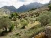 Olivenhaine; mi der Pass, über den wir    an die Küste gelangen werden