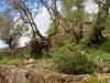 ein Olivenbaum wie ein Stier