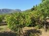 Zitronen Plantage
