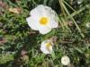 Weissliche Zistrose, Cistus  albidus,  Zistrosengewächse, Cistaceae ( weisslich rötlich)