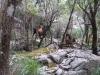 wilde Ziegen in  der Karstlandschaft bei Lluc