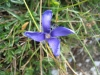 Gentianopsis ciliata; Fransen Enzian