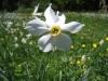 Weisse Narzisse, Narcissus raddiflorus, Amayllisgewächse