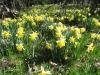 Narzisse (Narcissus pseudonarcissus), auch Osterglocke,Amaryllisgewächse (Amaryllidaceae)