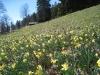 Narzisse (Narcissus pseudonarcissus), auch Osterglocke,Amaryllisgewächse (Amaryllidaceae) bereits etwas verwelkt