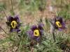 Frühlings Kuhschelle oder Anemone, Pulsatilla vernalis, Ranunculacae