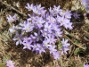 Leberblümchen Anemone hepatica, Ranunculaceae