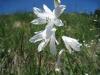 Trichterlilien,  Paradiesea liliastrum, Liliaceae