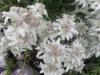 Edelweiss kultiviert
