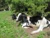 aich Kühe suchen den Schatten
