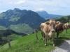 Stanserhorn mit Kühen