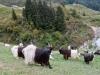 Walliser Ziegen im Urnerland