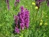 Gefleckte Fingerwurz, Cactylorhiza  maculata, Orchidaceae
