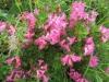 Bewimperte Alpenrose, Rhododendrum hirsutum, Ericaceae ;in Kalkgebieten