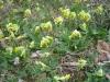 Primula veris; Frühlingsschlüsselblume, Primulaceae