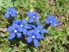 Frühlungsenzianen, Gentiana verna