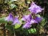 Soldanella alpina; Echtes Alpenglöckchen, Primulaceae