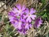 Mehlprimel, Primula farinose, Primulaceae