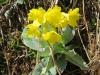 Aurikel, Primula auricula, Primulaceae