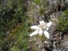 Edelweiss,Leontopodium nivale