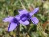 Fransenenzian, Gentianella ciliata