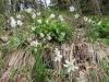 Weiße oder Dichter-Narzisse (Narcissus poeticus)  (Amaryllidaceae)