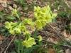 Waldschlüsselblume, Primula elatior, Primulaceae