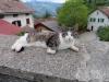 Kätzchen in Seewis