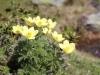 Schwefel-Küchenschelle, Pulsatilla  alpina, subsp. apiifolia
