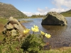 am Rotelsee; Schwefelanemonen, Pulsatilla alpina,Ranunculaceae