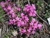 Rotes  oder kleines Seifenkraut, Saponaria ocymoides: Nelkengewächse, Caryothyllacea