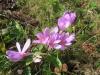 Herbstzeitlose (Colchicum autumnale), Lilianceae