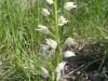 Weißes Waldvöglein(Cephalanthera damasonium), Orchidaceae