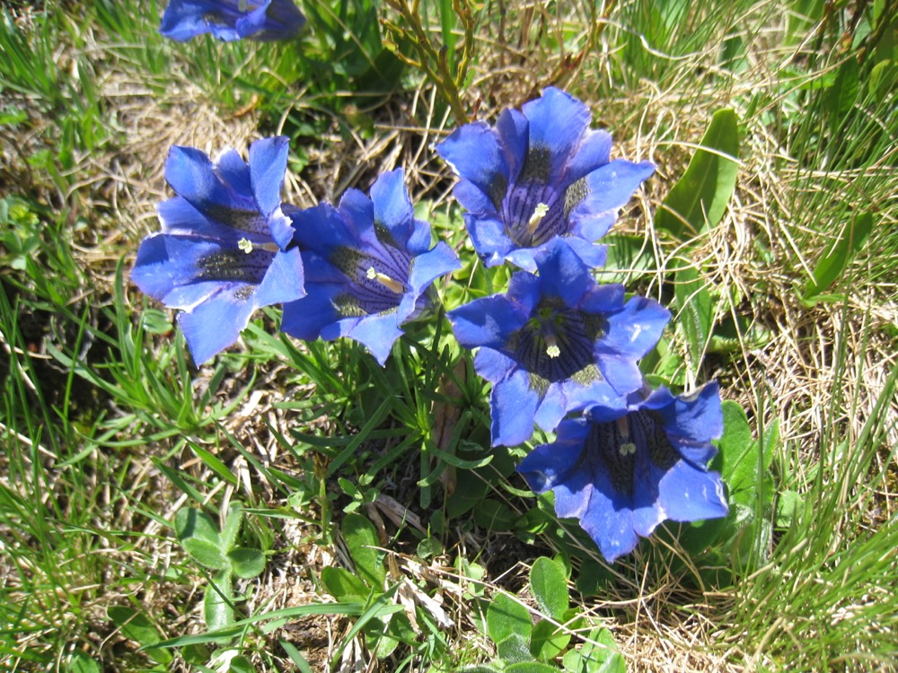 Stängelloser Enzian, Gentiana acaulis, Gentaniaceae