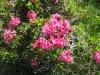 Rostblättrige Alpenrose, Rhododendron ferrugineum